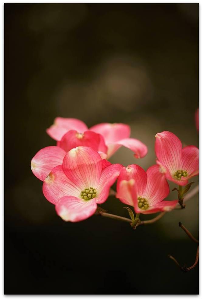 【爱摄影】漂亮的花树 (狗木)你想像不到的美丽_图1-14