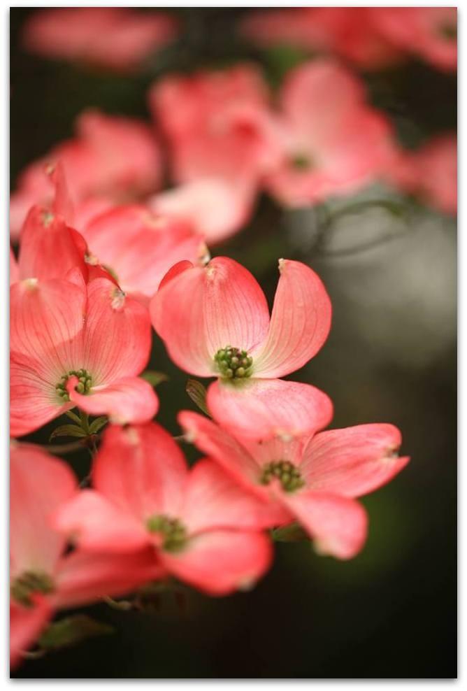 【爱摄影】漂亮的花树 (狗木)你想像不到的美丽_图1-12