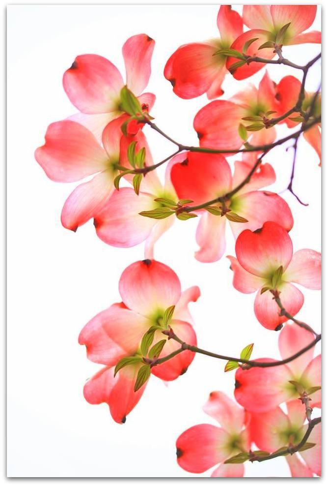 【爱摄影】漂亮的花树 (狗木)你想像不到的美丽_图1-13