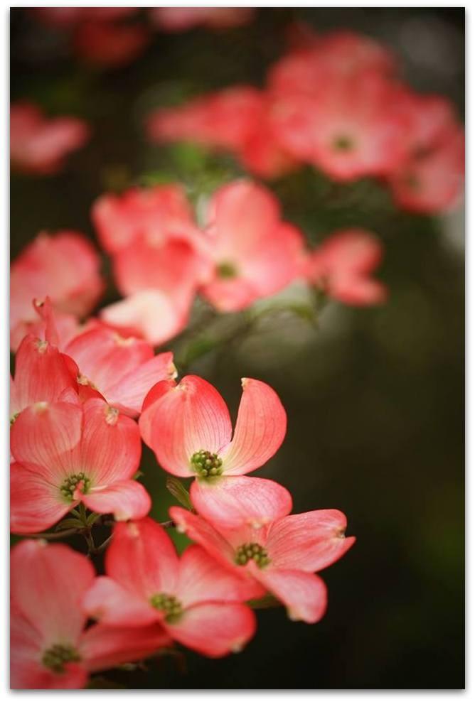 【爱摄影】漂亮的花树 (狗木)你想像不到的美丽_图1-16
