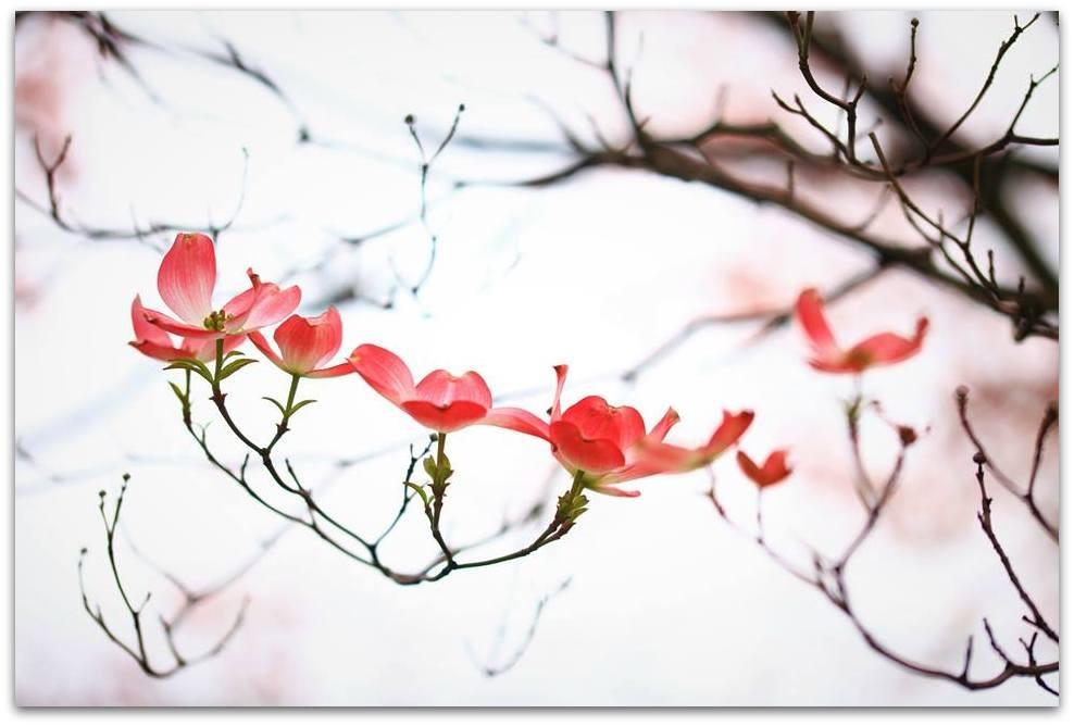 【爱摄影】漂亮的花树 (狗木)你想像不到的美丽_图1-1