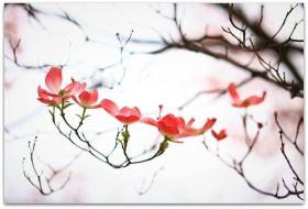 【爱摄影】漂亮的花树 (狗木
