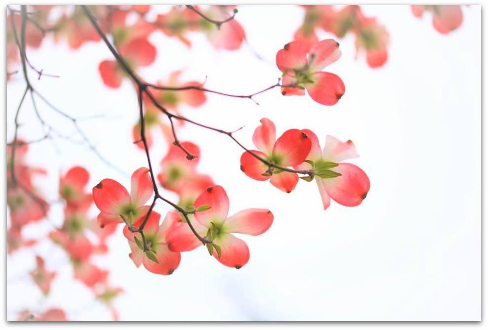 【爱摄影】漂亮的花树 (狗木)你想像不到的美丽_图1-9