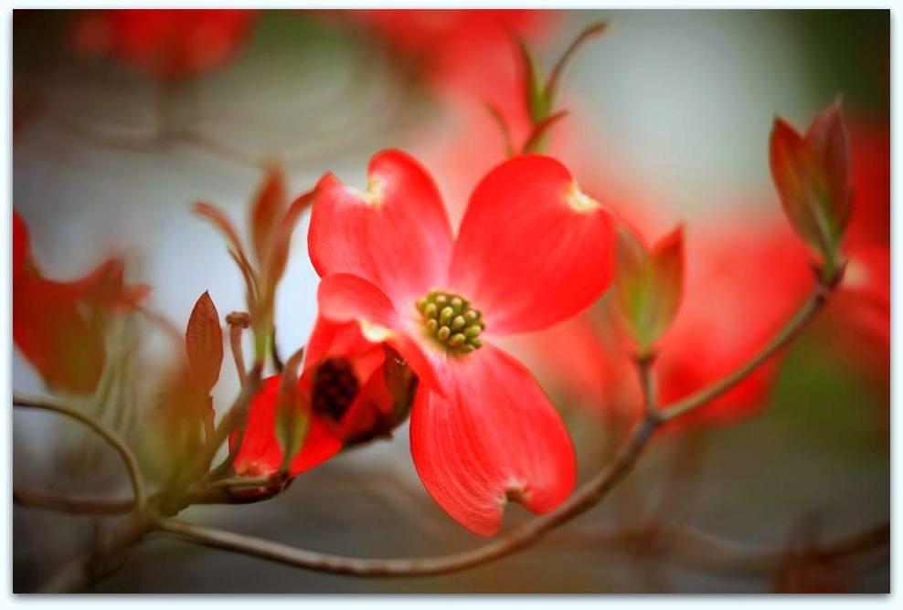 【爱摄影】漂亮的花树 (狗木)你想像不到的美丽_图1-7