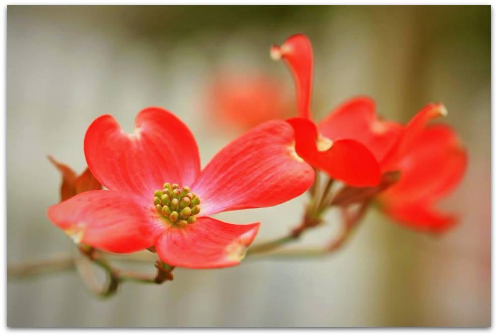 【爱摄影】漂亮的花树 (狗木)你想像不到的美丽_图1-8