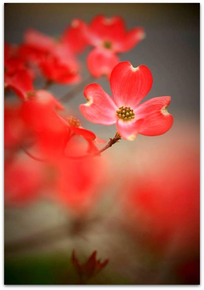 【爱摄影】漂亮的花树 (狗木)你想像不到的美丽_图1-11