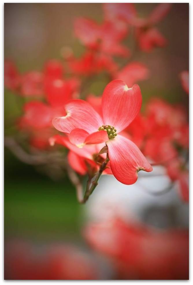 【爱摄影】漂亮的花树 (狗木)你想像不到的美丽_图1-10