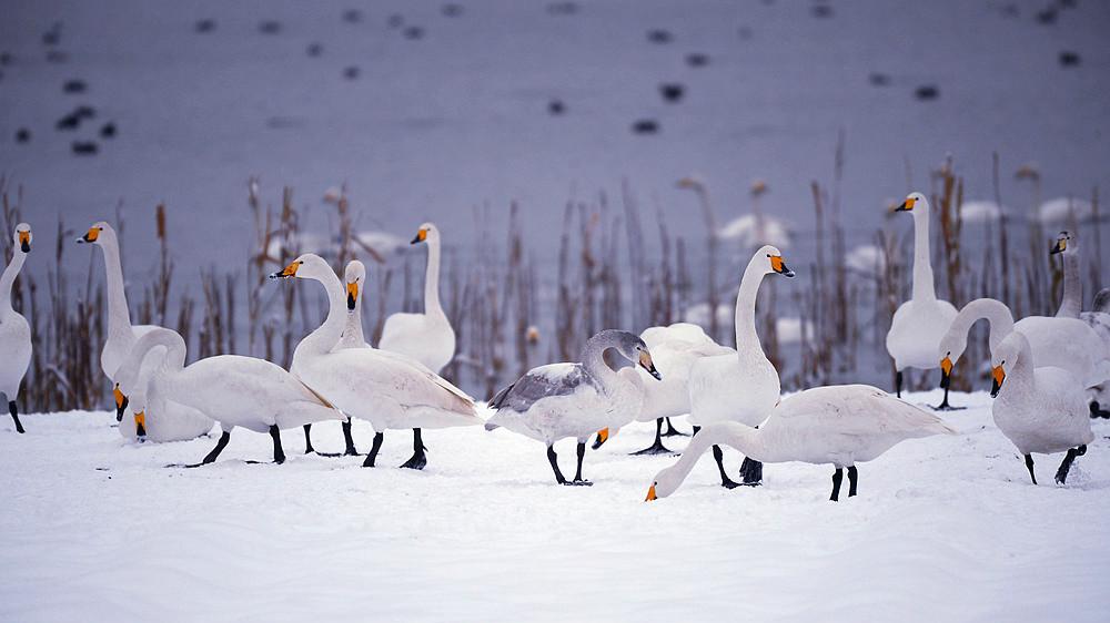 白雪皑皑 黄河湿地天鹅湖_图1-1