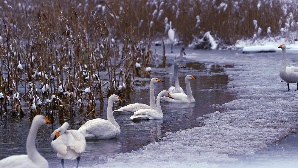 白雪皑皑 黄河湿地天鹅湖_图1-2