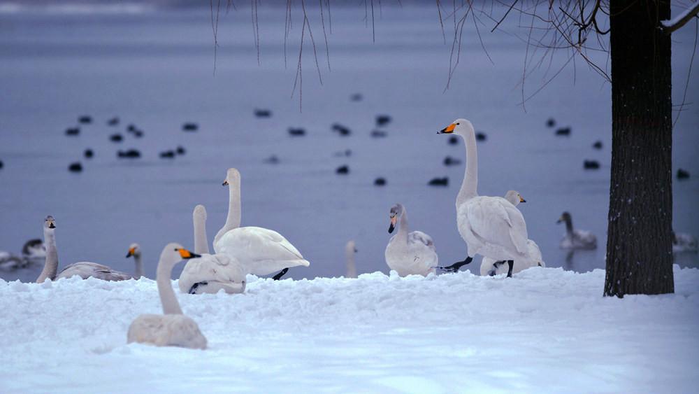 白雪皑皑 黄河湿地天鹅湖_图1-4
