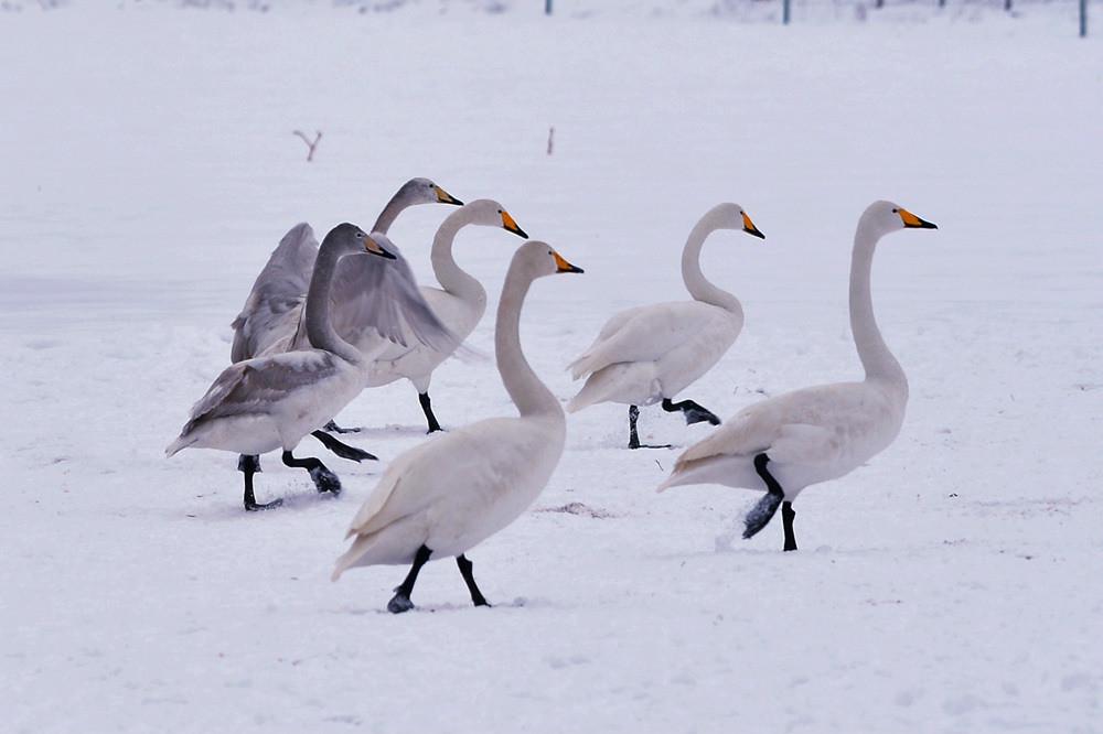 白雪皑皑 黄河湿地天鹅湖_图1-5