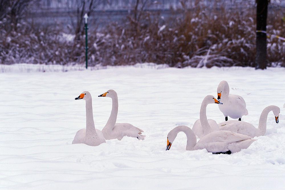 白雪皑皑 黄河湿地天鹅湖_图1-6