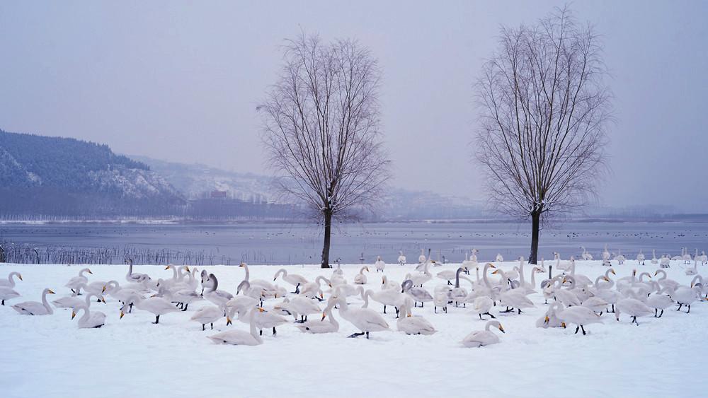 白雪皑皑 黄河湿地天鹅湖_图1-7