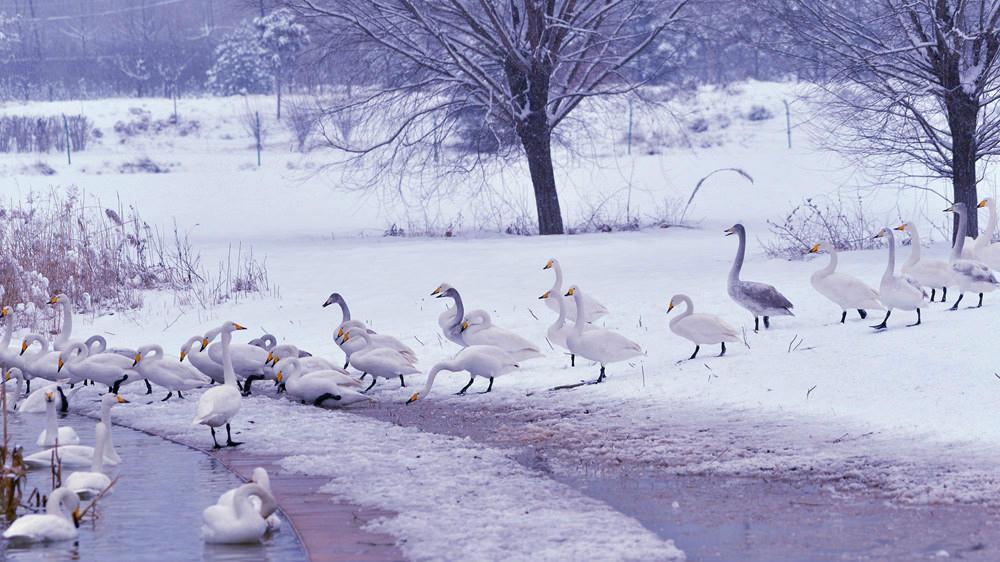 白雪皑皑 黄河湿地天鹅湖_图1-8