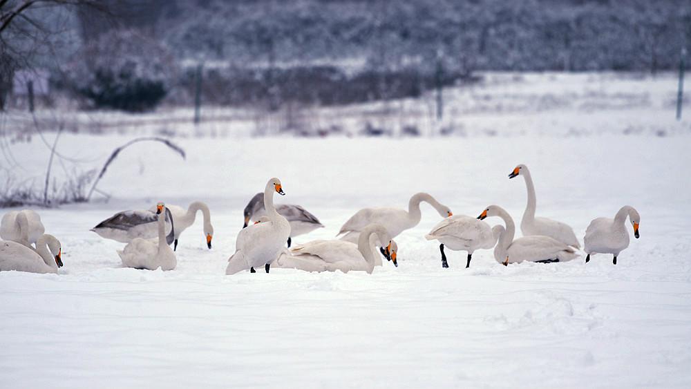 白雪皑皑 黄河湿地天鹅湖_图1-9