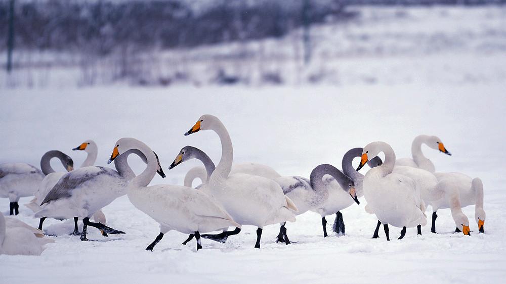 白雪皑皑 黄河湿地天鹅湖_图1-10