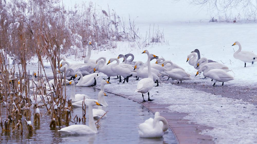白雪皑皑 黄河湿地天鹅湖_图1-12