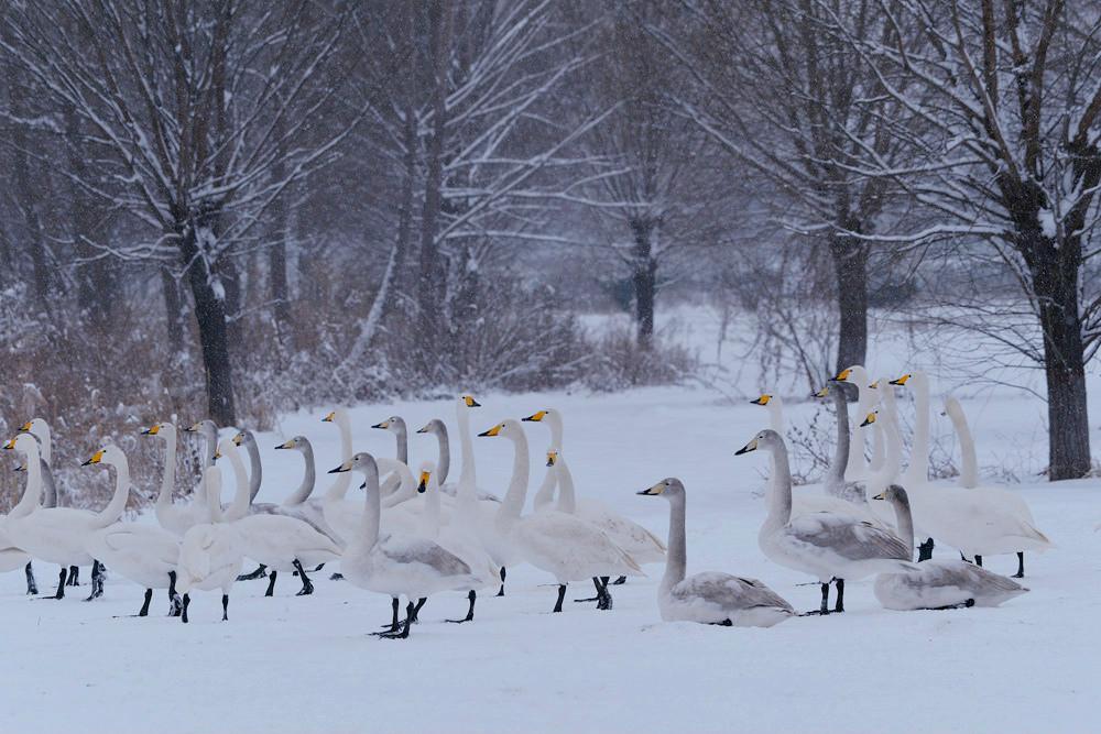 白雪皑皑 黄河湿地天鹅湖_图1-13