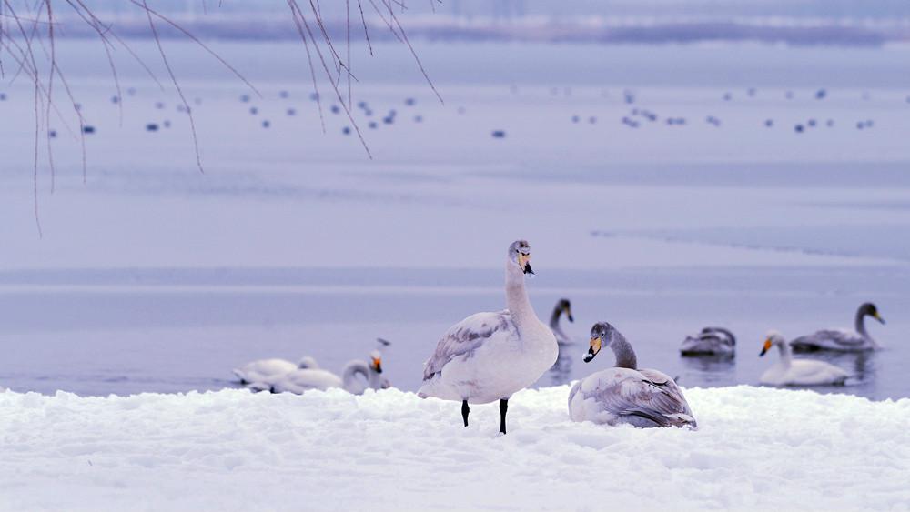 白雪皑皑 黄河湿地天鹅湖_图1-15