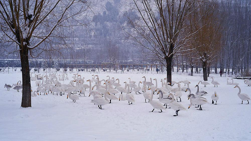 白雪皑皑 黄河湿地天鹅湖_图1-16