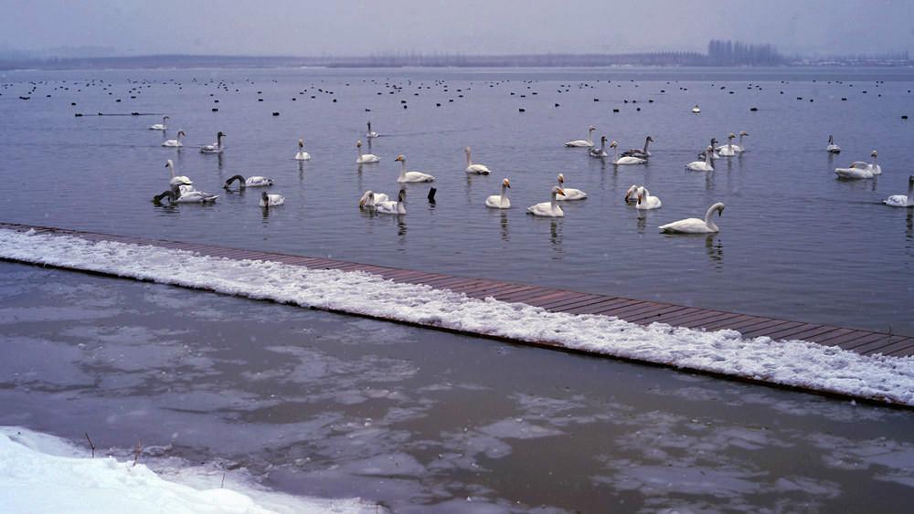 白雪皑皑 黄河湿地天鹅湖_图1-17