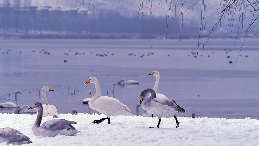 白雪皑皑 黄河湿地天鹅湖_图1-18