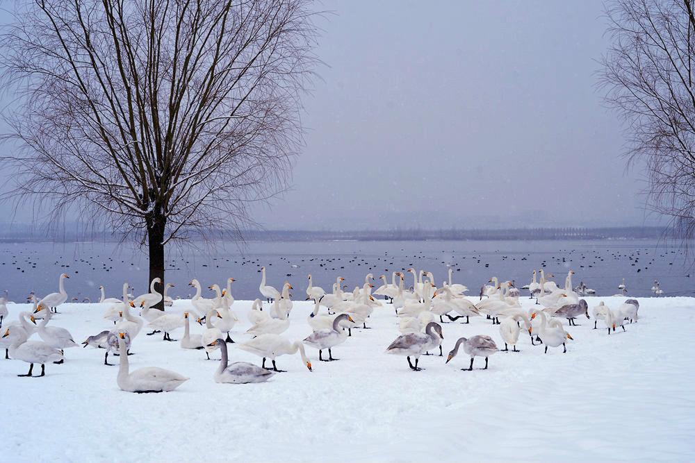 白雪皑皑 黄河湿地天鹅湖_图1-19