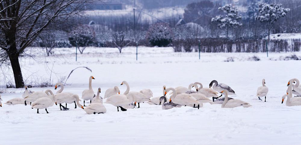 白雪皑皑 黄河湿地天鹅湖_图1-20