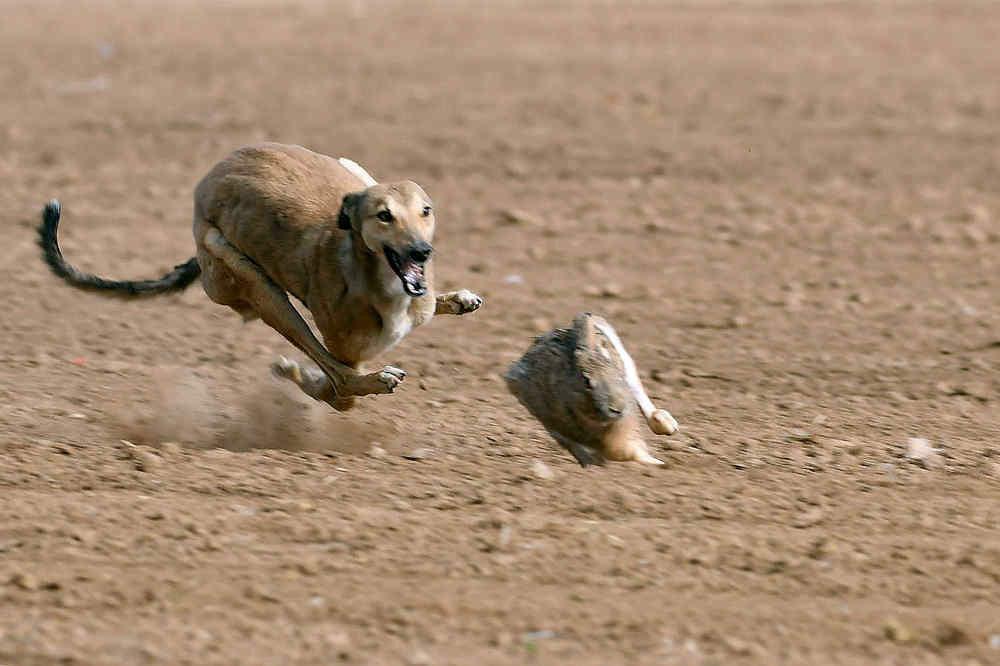 关中民俗---狗撵兔_图1-2
