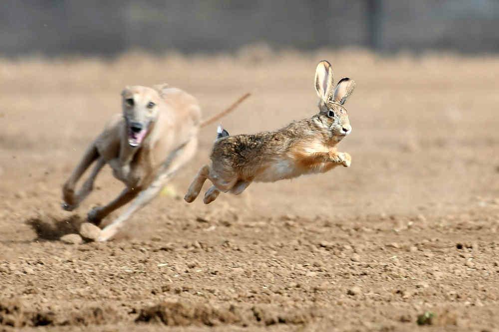 关中民俗---狗撵兔_图1-5