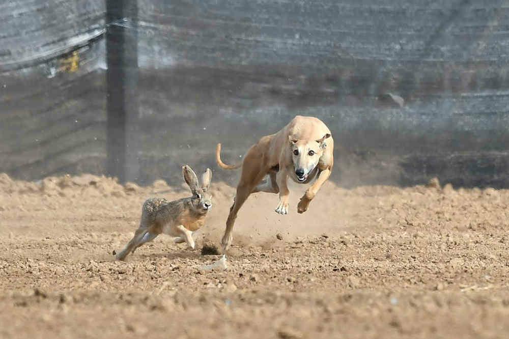 关中民俗---狗撵兔_图1-6