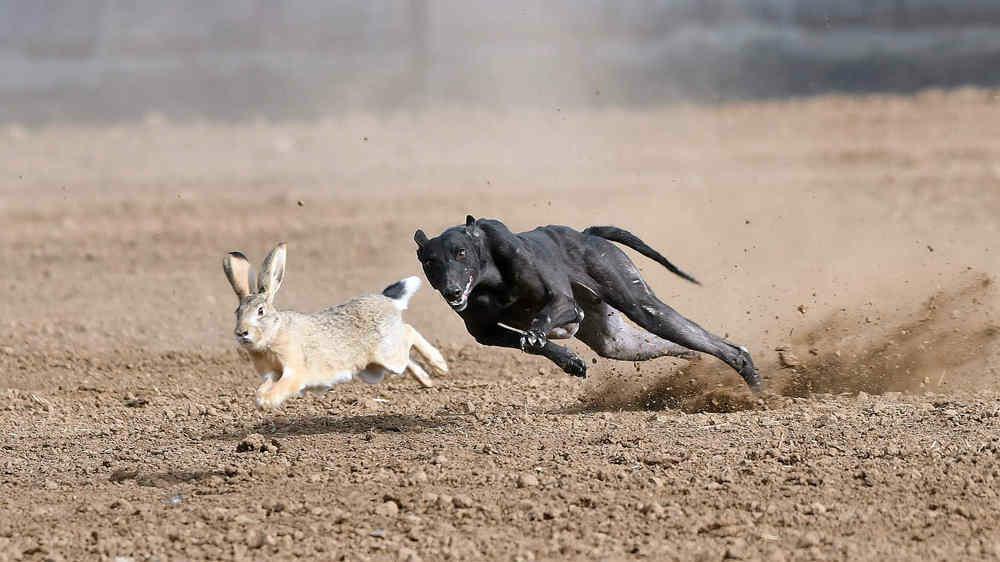 关中民俗---狗撵兔_图1-7
