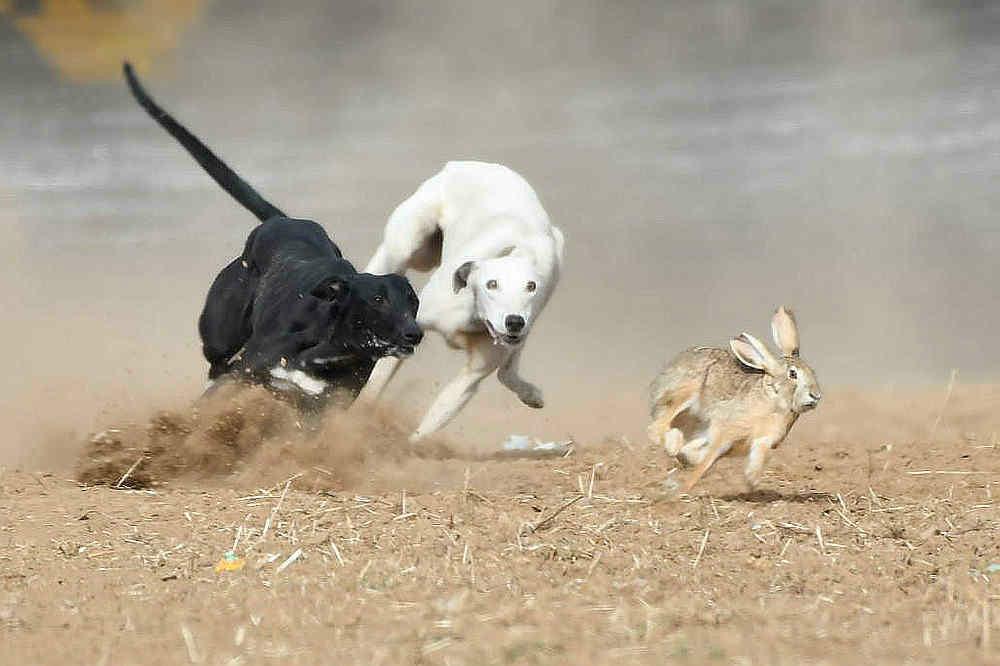 关中民俗---狗撵兔_图1-10