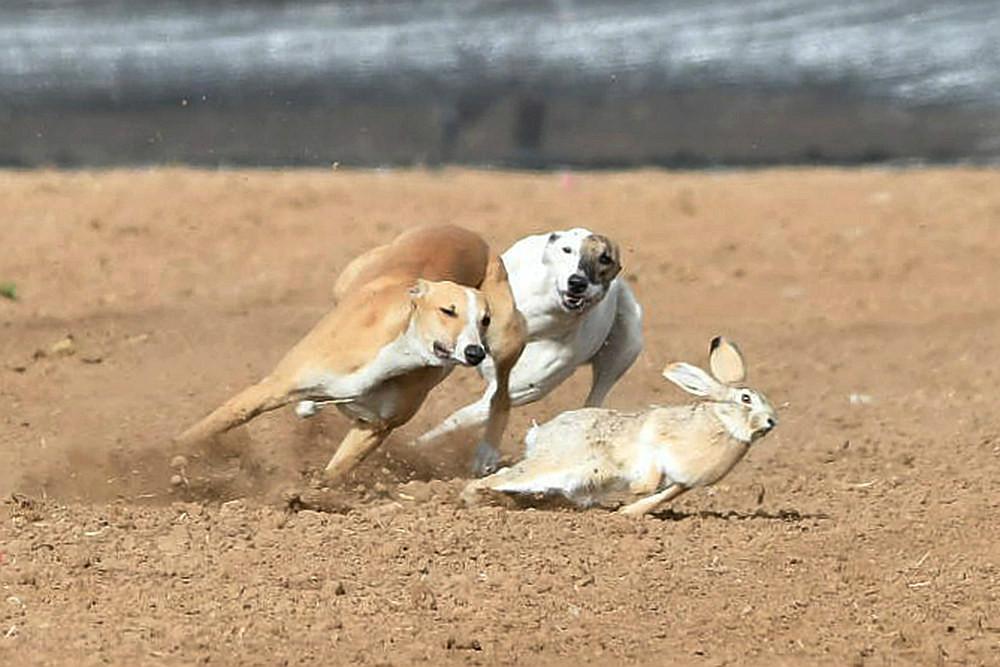 关中民俗---狗撵兔_图1-14