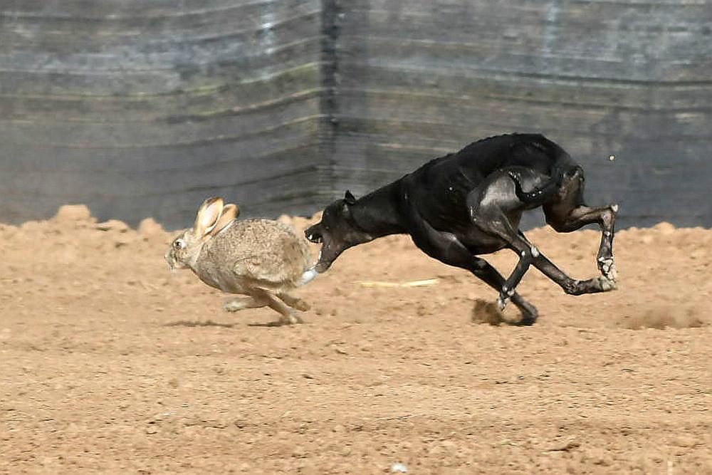 关中民俗---狗撵兔_图1-17
