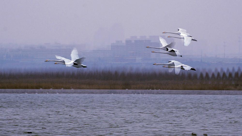 飞翔的白天鹅_图1-1