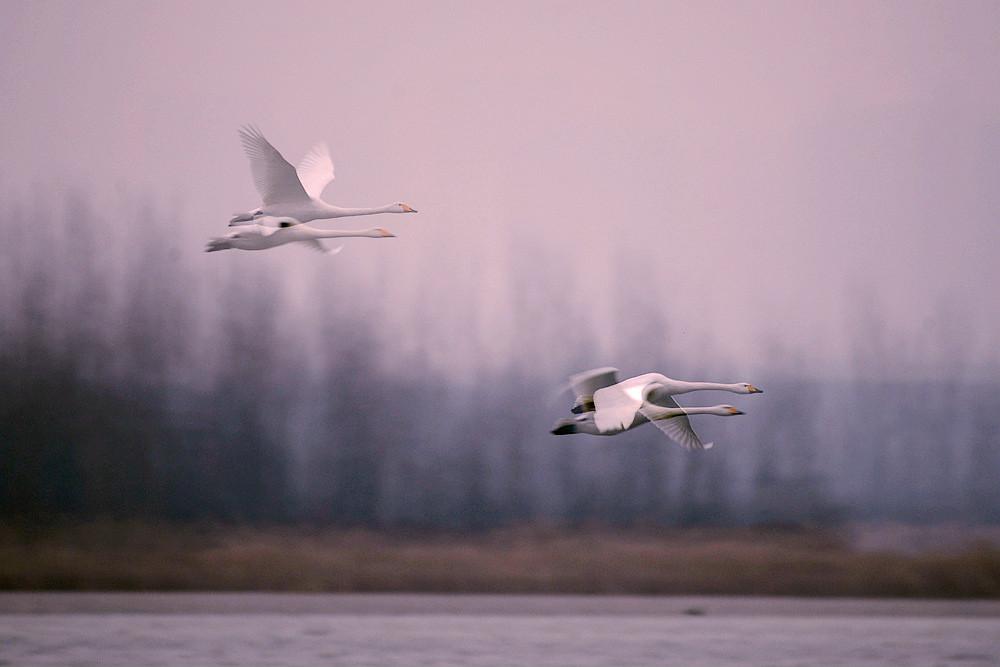 飞翔的白天鹅_图1-2