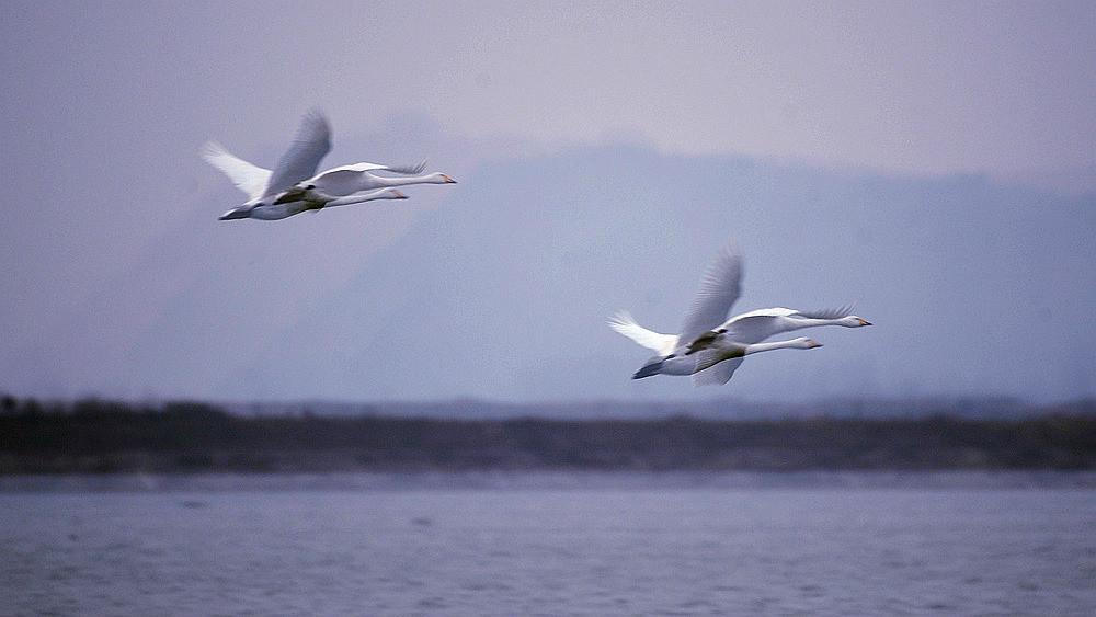 飞翔的白天鹅_图1-3