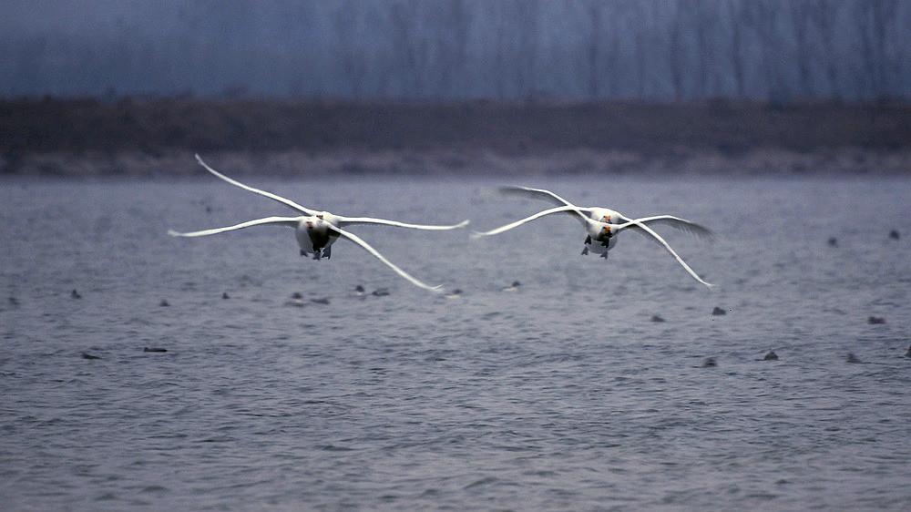 飞翔的白天鹅_图1-5