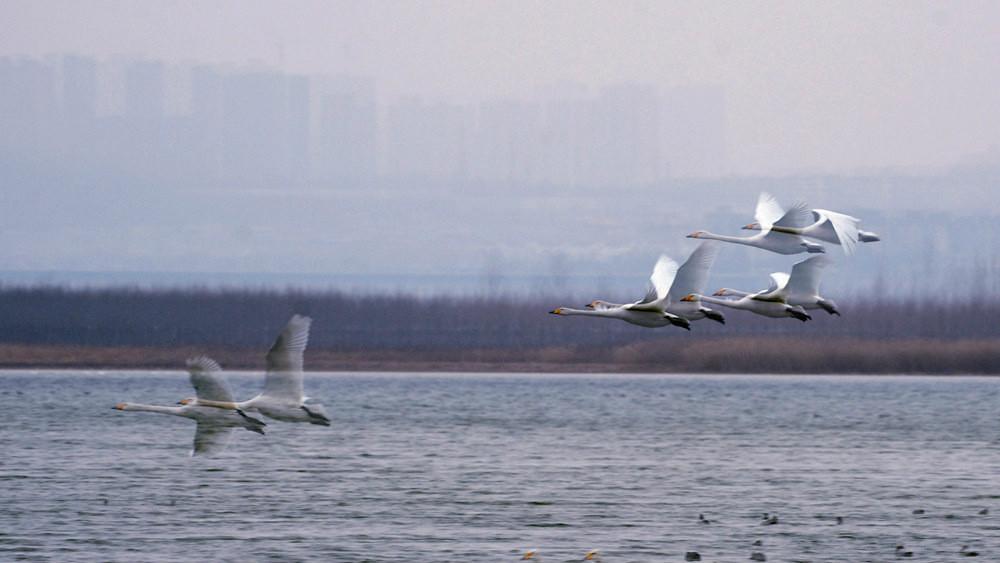 飞翔的白天鹅_图1-4