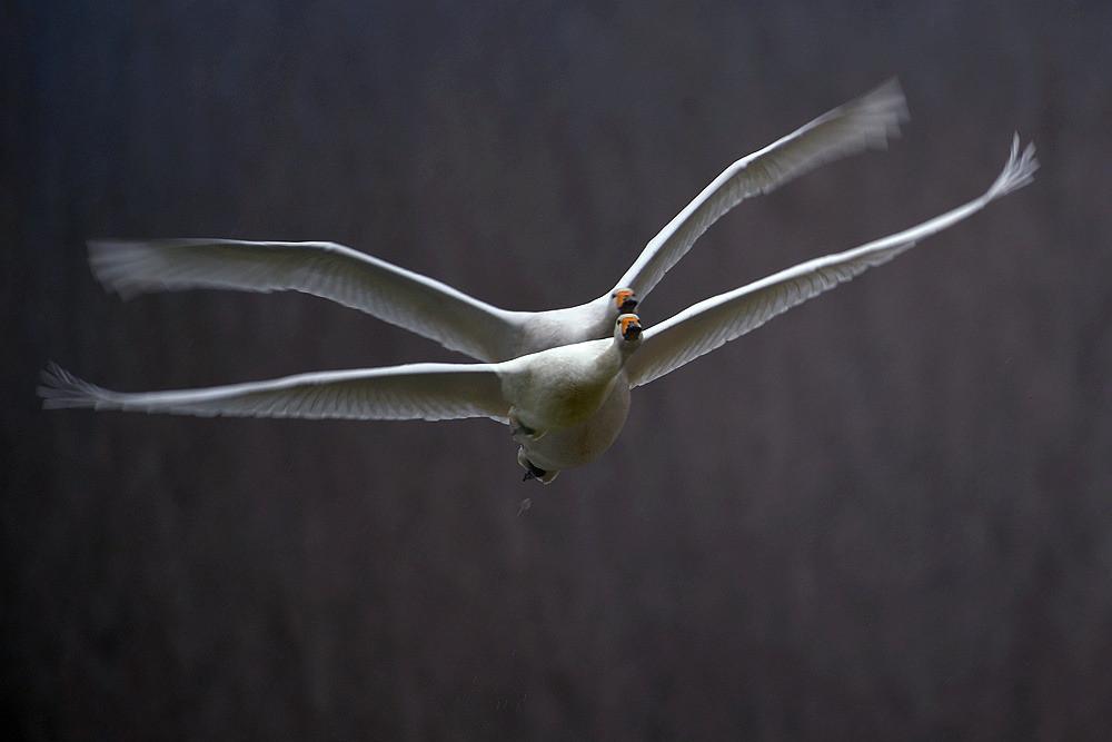 飞翔的白天鹅_图1-9
