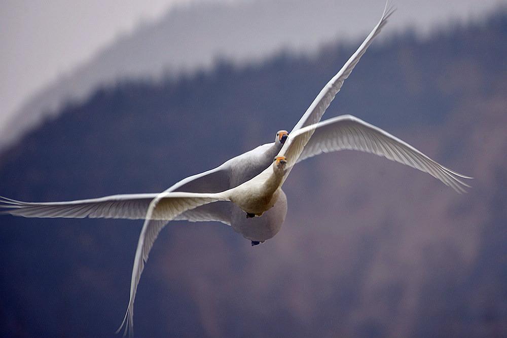 飞翔的白天鹅_图1-11