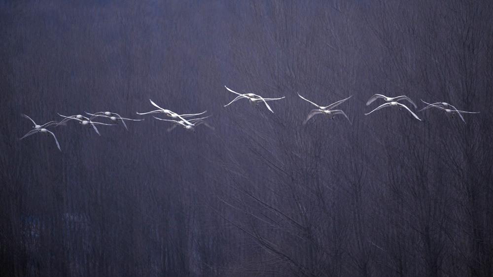 飞翔的白天鹅_图1-12