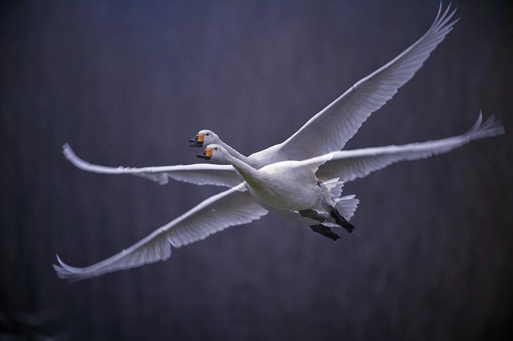 飞翔的白天鹅_图1-14