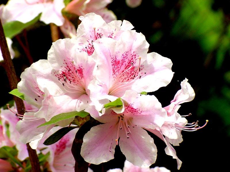 植物园杜鹃花    3_图1-4