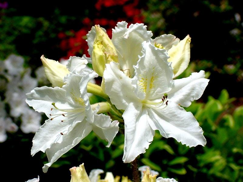 植物园杜鹃花    3_图1-5