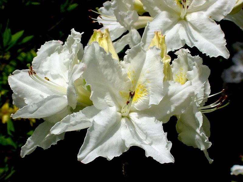 植物园杜鹃花    3_图1-7