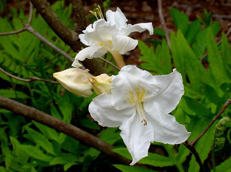 植物园杜鹃花    3_图1-8