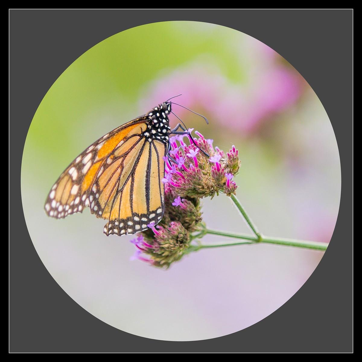 彩蝶花中藏,你中有我,我中有你_图1-8