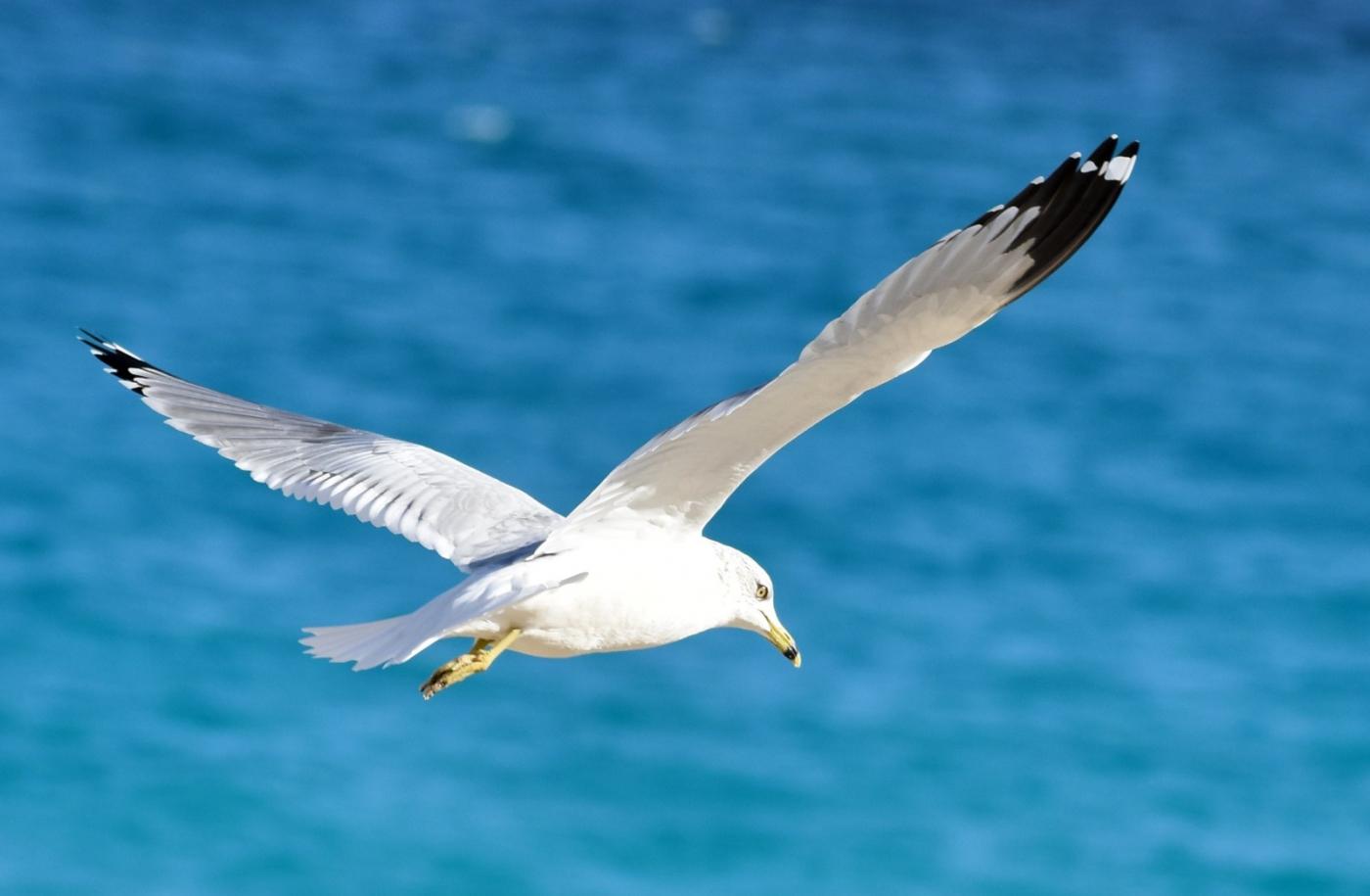 海鸥飞翔_图1-11